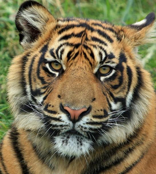 tiger-165189_1280