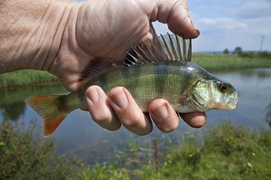 river-fish-1164953_640