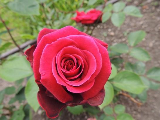 rose-179783_640